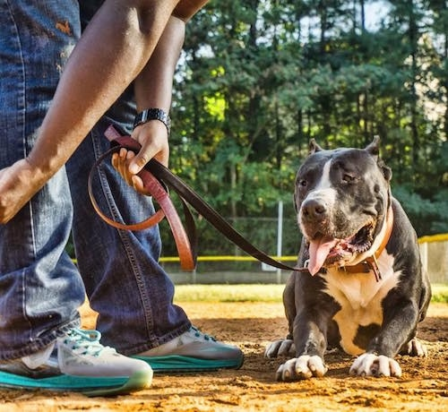 Canis the Domitius Maximus Mastiff is laying on the infield of a baseball diamond while on a leather leash with a person bent over top of him