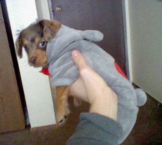Hiena the brown, tan and black Doxiepoop puppy is wearing a grey coat with the hood down. There is a person holding it up in the air