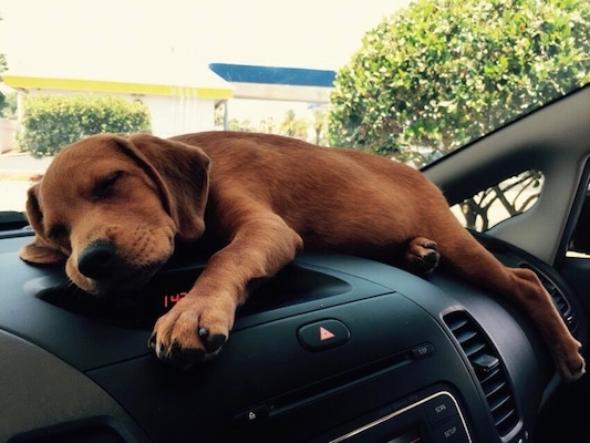 Remy the reddish-brown Doxle puppy is sleeping on the dashboard of a vehicle