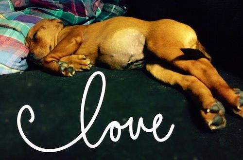 Remy the Doxle Puppy is sleeping on a couch. There is a plaid blanket behind its head. The words 'love' are overlayed in cursive writing on the image