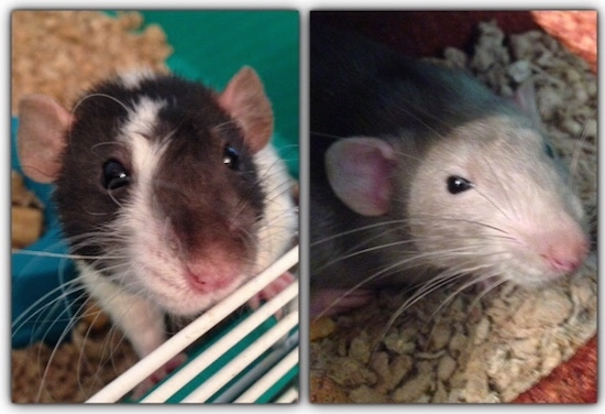 Left Photo - Close up - A brown and white Dumbo Rat is climbing up the side of its cage. Right Photo - Close up - A grey with white Dumbo Rat is laying on top of oats and it is looking up.