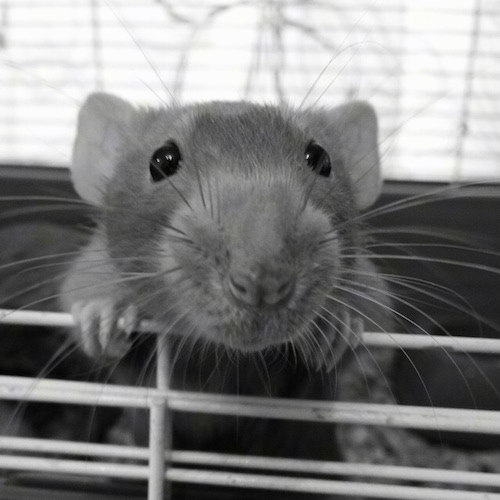 Close up front view head shot - A black and white photo of a Dumbo Rat climbing on to the gate of an open cage door.