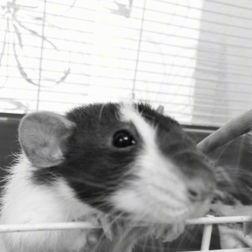 Close up - A black and white photo of a dumbo rat climbing on the door of its cage.