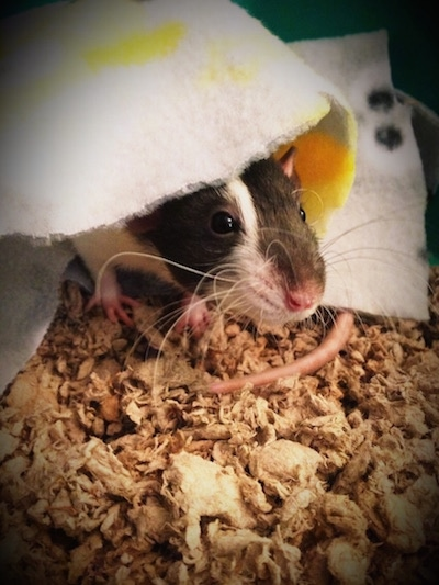 Close up - A black and white Dumbo Rat is laying under a white and yellow blanket in its cage.