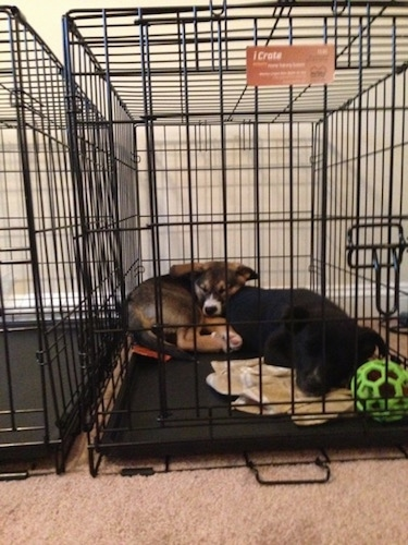 Jack and Ellie the Elk-a-Bee as puppies are sleeping together on top of each other in a crate. There is a green ball in front of them