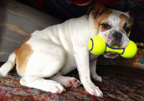 Chicklet the English Bulldog sitting under a recliner with a dog tennis ball toy in its mouth