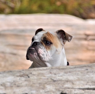 Chicklet the English Bulldog looking over a big log