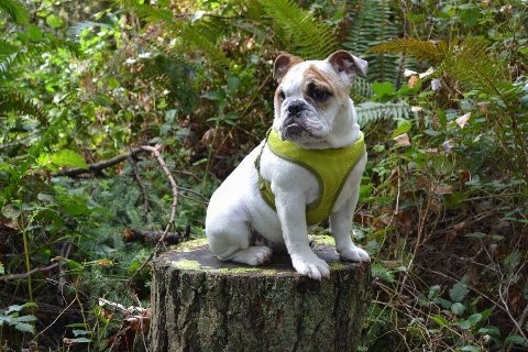 Chicklet the English Bulldog puppy wearing a green harness sitting on a mossy stump looking into the distance