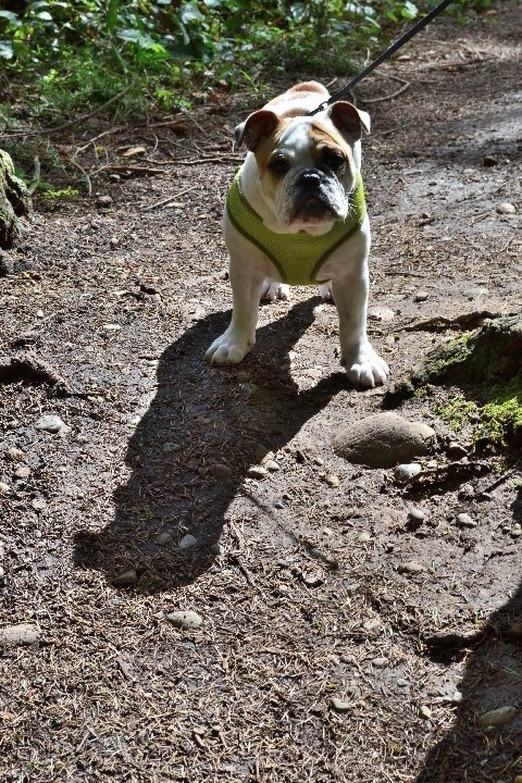 Chicklet the English Bulldog puppy wearing a green harness walking down a dirt path