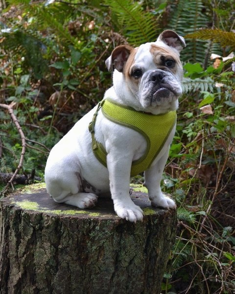 Chicklet the English Bulldog puppy wearing a green harness sitting on a mossy stump