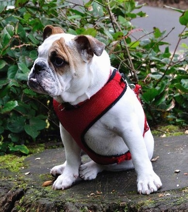 Chicklet the English Bulldog puppy wearing a red harness sitting on a stump