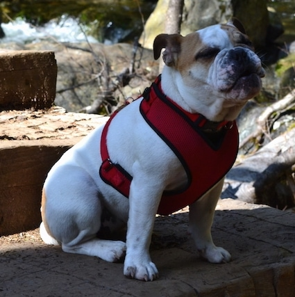 Chicklet the English Bulldog puppy sitting on a wood step with a harness on