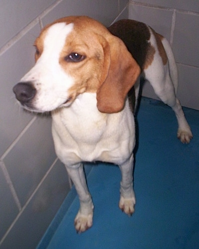 Close Up - An English Foxhound is standing on a blue floor against a white tiled wall