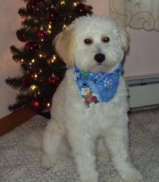 Scruffy the white and cream Eskapoo is next to a Christmas tree with a blue bandana that has a snowman on it around its neck