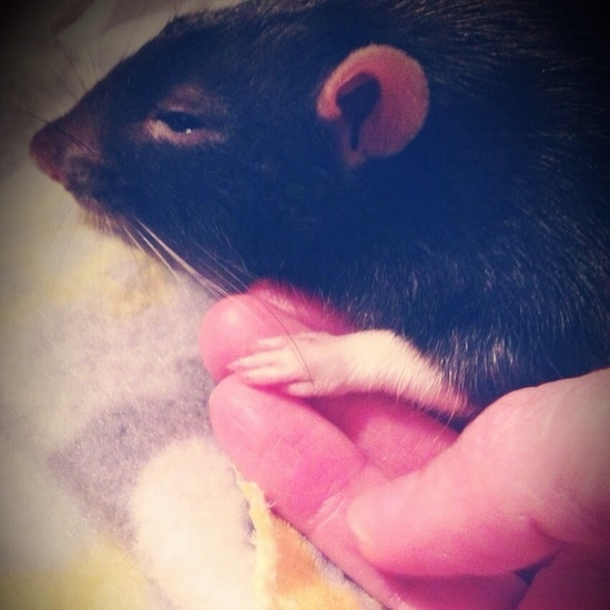 Close up side view head shot - A black and white Fancy rat is laying on a blanket and partially in a persons hand.
