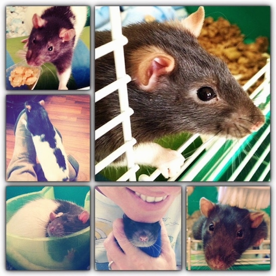 A collage of photos of a black and white fancy rat.