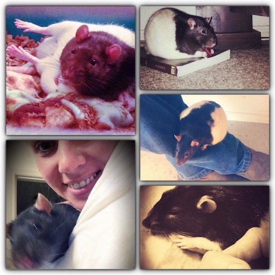 A collage of photos featuring a black and white Fancy Rat.