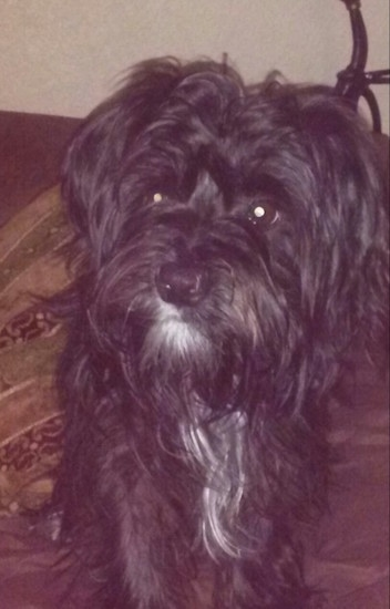 Close Up - A black colored Fourche Terrier dog is standing on a carpet looking to the left