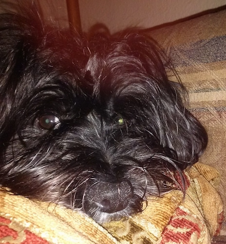 Close Up - A black colored Fourche Terrier dog is laying down on a couch with its head on a pillow