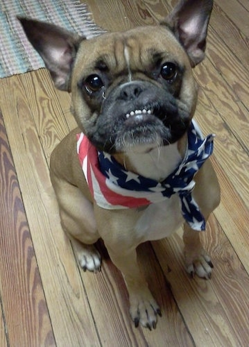 Hetti the tan with black Free-lance Bulldog is wearing an American flag bandana. She is sitting on a hardwood floor.