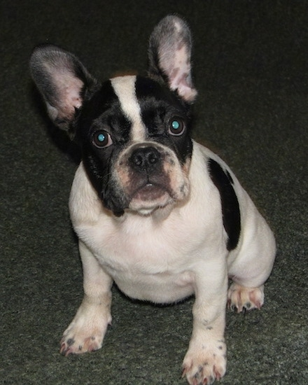 Moe the black and white French Bulldog Puppy is sitting on a carpeted floor and looking at the camera holder