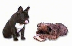 A French Bulldog is sitting and watching a Griffon dog chew on a toy. The Frenchie is licking its own nose
