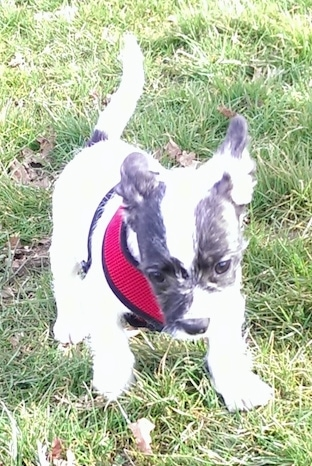 Daisy the white with black Frenchie Bulldog is wearing a red harness and running towards the camera in a yard.