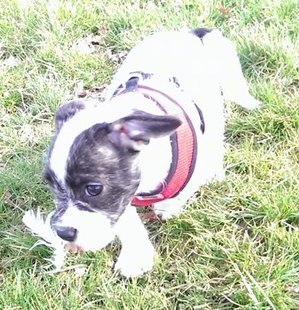 Daisy the white with black Frenchie Bulldog is wearing a red harness and moving across a yard. There is a feather in her mouth
