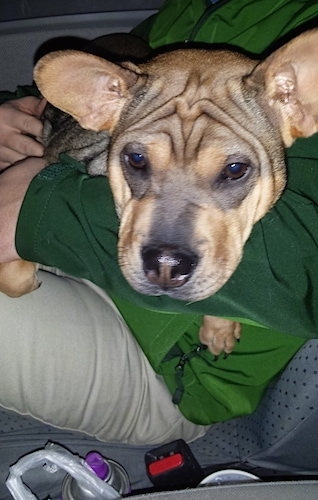 shar pei french bulldog mix frenchie pei dog breed information and pictures 8563