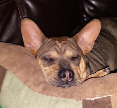 Close Up - China the wrinkly tan with black Frenchie-Pei puppy is sleeping on a pillow on a leather couch on top of a tan, brown and green pillow.