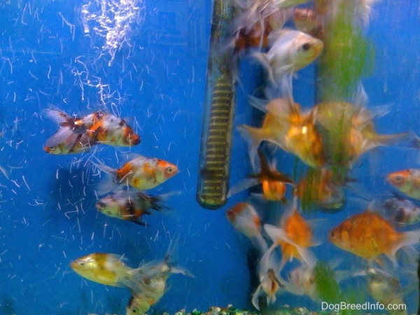 A myriad of different fish swimming in front of a filter inside a tank that has a blue background
