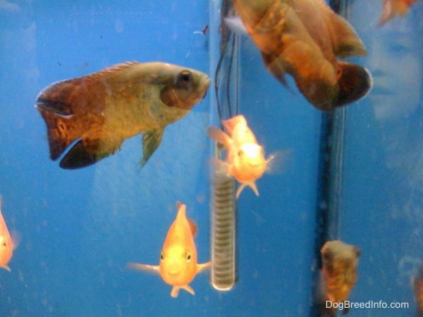 Three black and orange oscars and three blood parrot fish swimming in an aquarium that has a blue background