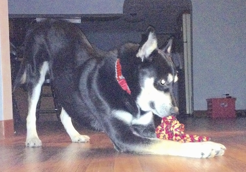 A black with tan and white Gerberian Shepsky is on a hardwood floor inside of a home with a red and yellow rope toy between his front paws.