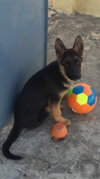 A black and tan German Shepherd puppy is sitting in front of a blue wall with an orange soccer ball and an orange upside-down bowl in front of it.