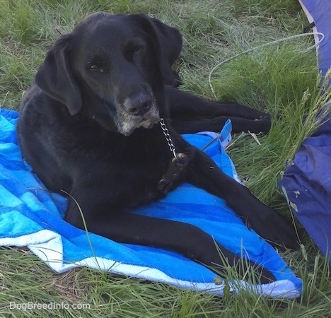 A black with white German Sheprador is laying on a blue towel in grass next to a blue tent.