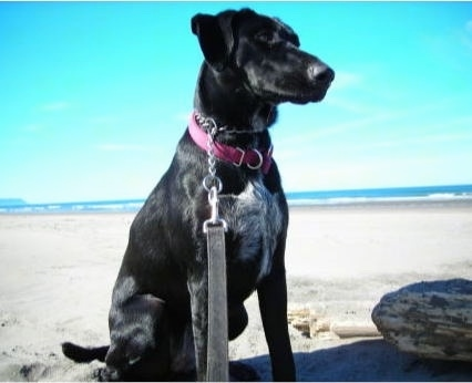 A black with white German Wirehaired Labrador is sitting on a beach.