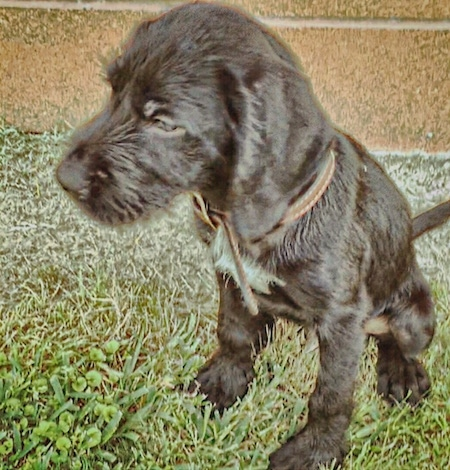 A black with white German Wirehaired Labrador puppy is sitting in grass in front of a brick wall