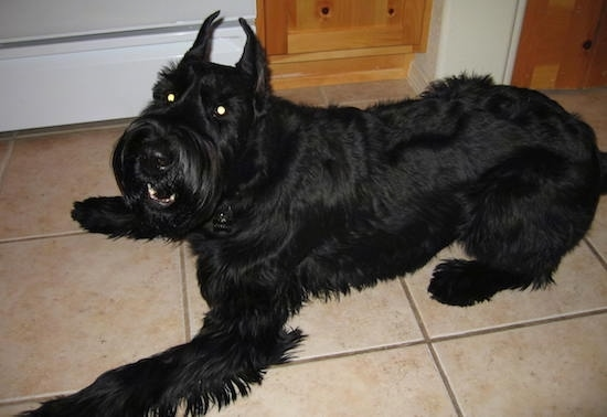 The left side of a black Giant Schnauzer dog that is laying across a tiled floor, it is looking up and forward. Its perk ears are cut to be pointy.