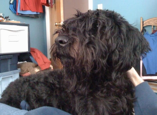 Close Up - A hairy black Giant Schnoodle is laying in the lap of a person who is petting it.