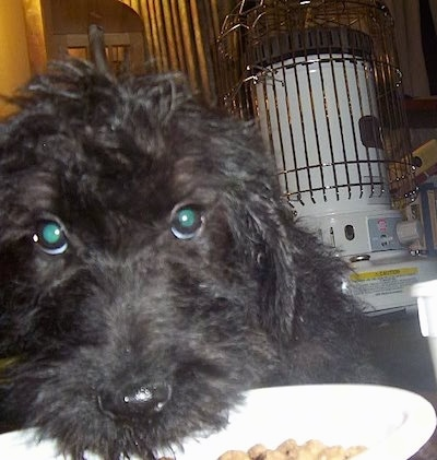 Close Up - A black Giant Schnoodle puppy is laying its head into a bowl of food with a white kerosene heater behind it