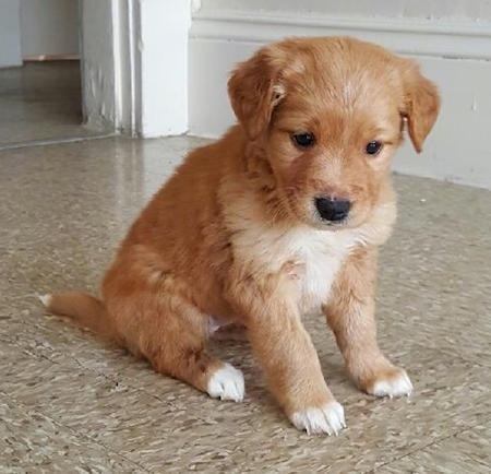 A small red with white Retriever mix puppy is sitting on a tan tiled floor looking down.
