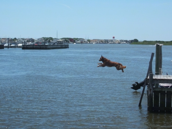 Jaxson the Golden Retriever is in mid-air jumping off of a wooden dock into a body of water
