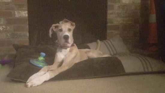 A tan with white Great Dane puppy is laying on a brown and tan dog bed pillow in front of a brick fireplace. There is a toy next to its front legs.