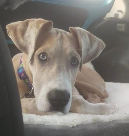 A tan with white Great Dane puppy is laying down on a blanket inside of a vehicle