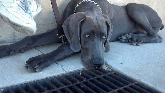 A black Great Weimar dog with silver looking eyes is laying between a wall and a drain grate  with white sneakers hanging next to its head from the person sitting on the wall above it.