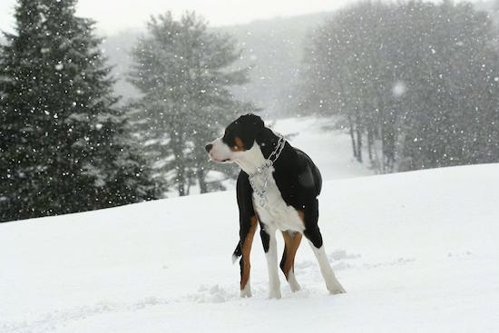 A tricolor black, tan and white Greater Swiss Mountain Dog is wearing a prong collar standing outside in snow while it is actively snowing. There are pine trees all around it