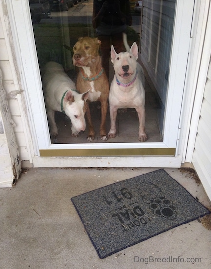 Three Bully type dogs are standing at a screen door, two white Bull Terriers and a red-nose Pit Bull in the middle.