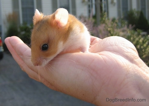 Close up - A tan with white Hamster is standing in the hand of a person looking over the edge at the ground.