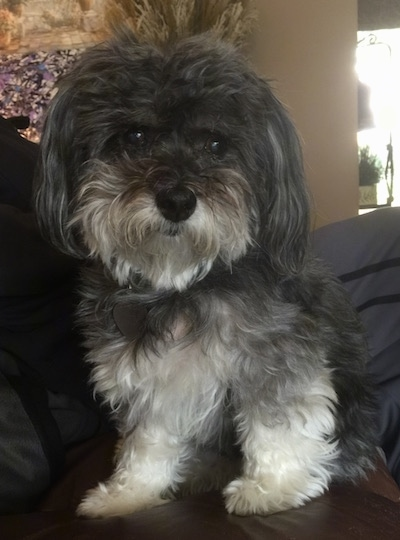 Havanese Dog Breed Pictures 2
