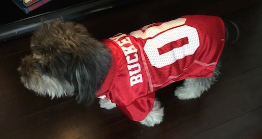 A grey with white Havanese is wearing an Ohio State Buckeyes jersey walking across a hardwood floor